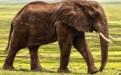 大象为什么都踮脚走路 引起这种现象的原因