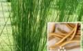 口腔溃疡中医疗法:灯心草和淡竹叶