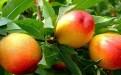 孕妇可以吃油桃吗对胎儿有影响吗